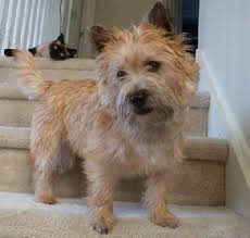 cairn terrier shed hair coat colors and grooming