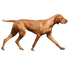 When Do Vizslas Shed Their Puppy Coat by Vizsla Dog Breed Health History Appearance Temperament And
