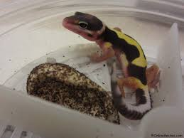 Do Baby Leopard Geckos Shed by Leopard Gecko Breeding Breeder Chronicle Onlinegeckos Com Gecko
