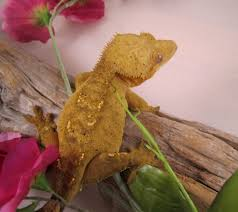 Extreme Halloween Crested Gecko by Crested Gecko Morph Guide The Gecko Geek