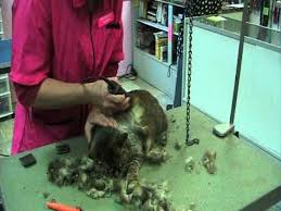 haired cat how to shave a haired cat a one