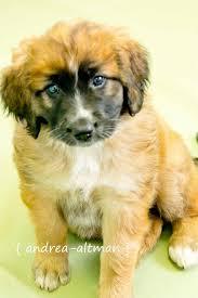 Do Smooth Coat St Bernards Shed by Best 25 Saint Bernard Poodle Ideas On Pinterest Saint Berdoodle
