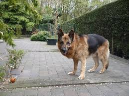 Large Non Shedding Dogs Pictures by Need To Know About Large Dog Breeds Canineweekly Com