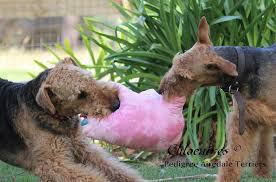 Airedale Terrier Non Shedding chloeaires airedale terriers home facebook