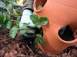 Pot Plants For The Bathroom by How To Plant Strawberries How Tos Diy