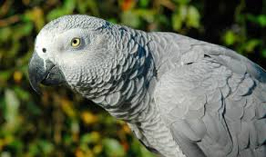 Parrot Caught Singing Bodies Hit The Floor by African Grey Parrot Everything About Your Bird