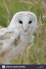 Barn Owl Portrait Tyto Alba Stock Photos & Barn Owl Portrait Tyto ... This Galapagos Barn Owl Lives With Its Mate On A Shelf In The Baby Barn Owl Owls Pinterest Bird And Animal Magic Tito Alba Sitting On Stone Fence In Forest Barnowl Real Owls Echte Uilen Wikipedia Secret Kingdom Young Tyto Roost Stock Photo 206862550 Shutterstock 415 Best Birds Mostly Uk Images Feather Nature By Annette Mckinnnon 63 2 30 Bird Great Grey