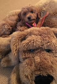 Do F1 Sheepadoodles Shed by 154 Best Animals Images On Pinterest Minis Mini Goldendoodle