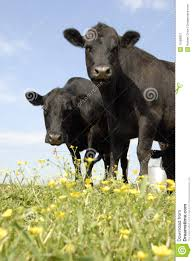 Czarny Angus Kwiaty Obraz Stock Obraz