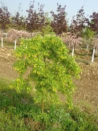 Caragana Arborescens Pendula Weeping Pea 452573 Bytes