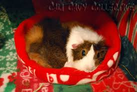 cali cavy collective a blog about all things guinea pig secrets