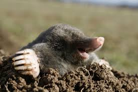 Moles In The Garden How To Get Rid Of Them - Large And Beautiful ... How To Get Rid Of Moles Organic Gardening Blog Cat Captures Mole In My Neighbors Backyard Youtube Animal Wikipedia Identify And In The Garden Or Yard Daily Home Renovation Tips Vs The Part 1 Damaging Our Lawn When Are Most Active Dec 2017 Uerstanding Their Behavior Mole Gassing Pests Get Correct Remedy Liftyles Sonic Molechaser Alinum Covers 11250 Sq Ft Model 7900