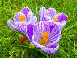 crocus bulbs crossword clue image mag