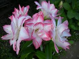 free shipping flower bulbs big light pink 2bulbs amaryllis