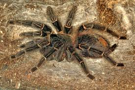 Do Tarantulas Shed Their Legs by This Is Largest Tarantula In The World And It U0027s Surprisingly