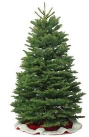 Nordmann Fir Christmas Trees Wholesale by Fresh Cut Christmas Trees And Garland
