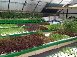 Growing Food, Growing Minds - Community Aquaponics Aquaponic ... Hydroponic Home Garden Backyard Food Solutionsbackyard Oc Aquaponics Project Admin What Is Learn About Aquaponic Plant Growing Photos Friendly Picture With Amusing Systems Grow 10x The Today Bobsc Ezgro Amazoncom Vertical Gardening Vegetable Tower Indoor Outdoor From Fish To Ftilizer Greenhouse Im In My City Back Yard Yes I Am Satuskaco