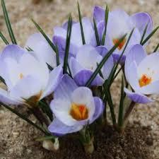 crocus bulbs for sale buy flower bulbs in bulk save flower