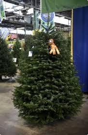 Nordmann Fir Christmas Tree Seedlings by Schuylkill County Tree Farmer Wins Top Award Again Reading Eagle