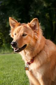 Dogs That Shed The Least by Goberian Dog Breed Everything About Golden Retriever Husky Mix