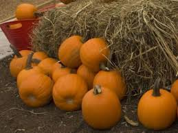 Toms Maze Pumpkin Farm by Pumpkin Patches Corn Mazes Fall Festivals In The Naperville Area