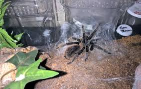 Tarantula Shedding Skin Time Lapse by Molting Tom U0027s Big Spiders
