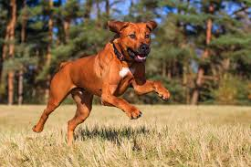 Best Hunting Dogs That Dont Shed by Rhodesian Ridgeback Dog Breed Information Pictures U0026 More