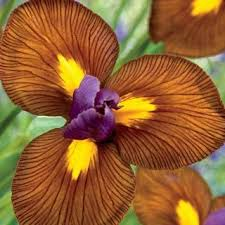 517 best iris images on iris flowers beautiful