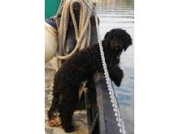 Portuguese Water Dog Shedding Problems by Portuguese Water Dog Breed Information U0026 Pictures Portuguese