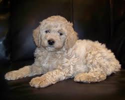 Dogs That Shed The Least by Double Doodle Dog Breed Information Pictures U0026 More