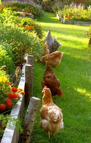 Country Life - Chickens | Birds Of A Feather | Pinterest ... Cheap Raising Ducks For Eggs Find Deals On The Chicken Chick 11 Tips For Predatorproofing Chickens 1064 Best Images Pinterest Chickens In The South Southern Living Keeping Ultimate Beginners Guide Australian Inrested Your Backyard Home Life How To Chickenproof Garden Modern Farmer Coop Yard Design 7 Coops 6760 Homestead Critters Landscape Gardening With 343 Other Farm Eggs