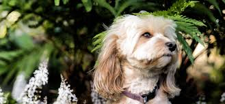 Cavapoos Do They Shed by Cavapoo Information Dog Breeds At Dogthelove