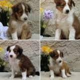 245 best Animals Sheltie puppies images on Pinterest