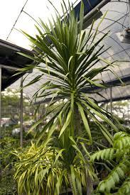 yucca palme pflanzen pflegen und vermehren freudengarten