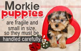 Small Dogs That Shed The Most by Awesome Information About The Really Cute Morkie Puppies