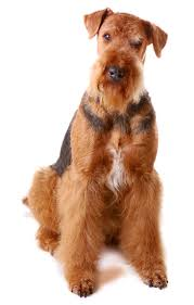 Do Airedale Puppies Shed by Airedale Terrier Information Facts Pictures Training And Grooming