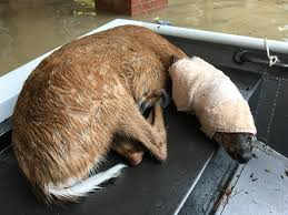 Pumpkin Patch Katy Tx by Oh Deer Dramatic 4 Legged Rescues During Harvey Flooding Lake