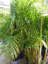 golden palm in pots golden palms in pots plants gumtree australia pittwater