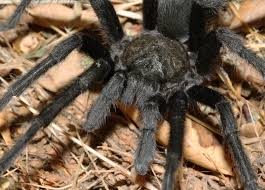 Do Tarantulas Shed Their Legs by Cuyamaca Woods Mountain Journal Tarantulas Are Out And About