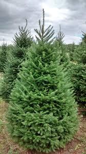 Nordmann Fir Christmas Trees Wholesale by Wholesale Cut Christmas Trees Hartikka Tree Farms