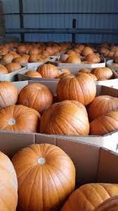 Pumpkin Patch Fresno Clovis by Pumpkin King Farms California Haunted Houses