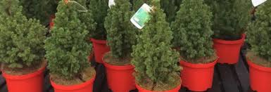 Potted Christmas Tree by Potted Christmas Trees Tips For A Top Christmas Tree