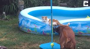 Cat Splash Pup Pushes Kitten Into Kiddie Pool