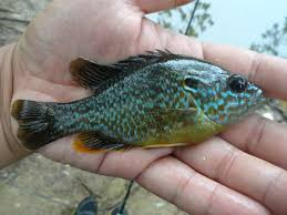 Extreme Philly Fishing Be A Sunfish Expert Simple Guide For Identifying Your Small Catches