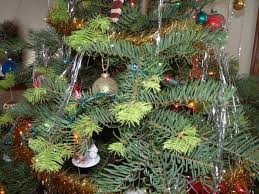 Nordmann Fir Christmas Tree by Christmas Trees U2013 The Garden Professors