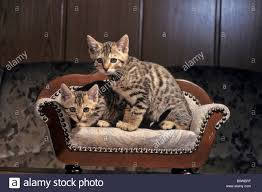 cat sofa two bengal cat kittens sitting on a miniature sofa stock photo