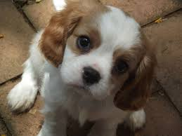 Non Shedding Hypoallergenic Dogs by Small Dog Breeds That Don T Shed Pet Dog Breeds Puppies Small