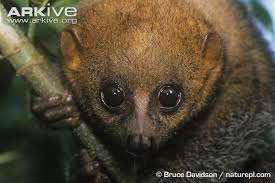 Across The Tropical Forest Belt Of Western Central And Eastern Africa This Thick Furred Tree Dwelling Species Climbs With Slow Deliberate Movements