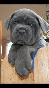 My Cane Corso Shedding A Lot by Cane Corso Love The Blue Silver Maybe This Will Be 3 Lol