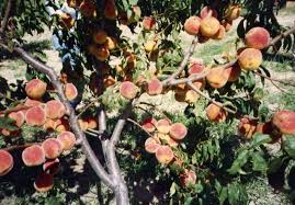 Dwarf Peach Tree Peaches And Nectarines | Peaches | Pinterest ... Garden Design Trees For Traing Adds Beauty And Function Inside 90 Best Fruit Images On Pinterest Trees Backyards Best 25 Fast Growing Fruit Ideas Tree Wonderful Large Backyard Plum Tree Pics Orchards Benicia Community Gardens With With Cclusion How To Grow Which Apple For Small Garden 35 Citrus Homegrown Stone Sunset Mobile Enjoy The Full Of Flowers Alamedasan